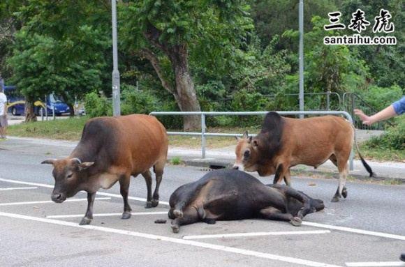 牛在马路上